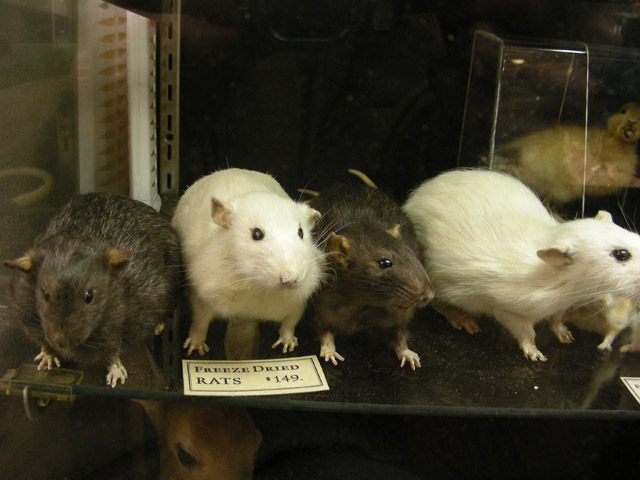 taxidermied rats of various fur color