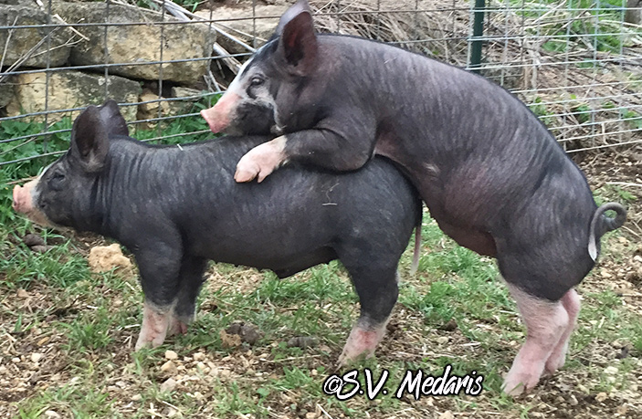 female pig dominates little male by climbing onto his back